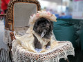 Southern Belle Shih Tzu Stock Image