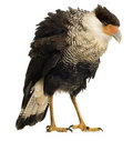 Southern Caracara (3 years) - Polyborus plancus Royalty Free Stock Images