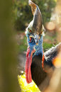 Southern cassowary the also known as double wattled australian or two wattled Stock Photography