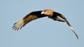 Southern Crested Caracara (Caracara plancus) in flight Stock Photography