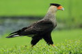 Southern crested caracara the strolling in the rain Stock Photography