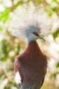 Southern crowned pigeon goura scheepmakeri single captive bird Stock Image