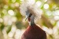 Southern crowned pigeon goura scheepmakeri single captive bird Stock Photography