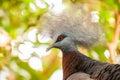Southern crowned pigeon goura scheepmakeri single captive bird Stock Images