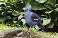 Southern crowned pigeon goura scheepmakeri single captive bird on branch indonesia march Royalty Free Stock Image