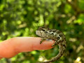 Southern dwarf chameleon a close up view of a on a finger Stock Photography