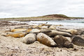 Southern elephant seal colony falkland islands Royalty Free Stock Photos