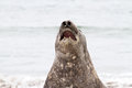 Southern elephant seal is crying around closeup falkland islands Stock Image
