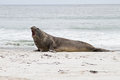 Southern elephant seal is crying around falkland islands Stock Photography
