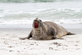 Southern elephant seal is crying around falkland islands Stock Image