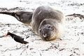 Southern elephant seal looking to an oystercatcher falkland islands Royalty Free Stock Photo