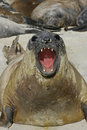 Southern elephant seal mirounga leonina single mammal on beach falklands Stock Photography