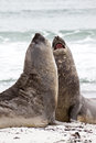 Southern elephant seals are fighting falkland islands Stock Photos
