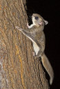 Southern Flying Squirrel Royalty Free Stock Photo