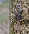 Southern flying squirrel a glaucomys volans on the trunk of a woodland poplar tree Royalty Free Stock Photo