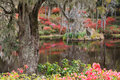 Southern garden landscape live oak tree with hanging moss in a of red and pink azaleas and lake reflections in the low country in Stock Images