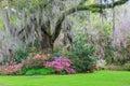 Southern Garden Live Oak Tree Hanging Moss Azaleas Royalty Free Stock Photo