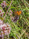 Southern gatekeeper feeding on nectar a butterfly pyronia cecilia feeds pollen and of a wild flower in southwestern spain Stock Photo