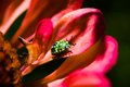 Southern green stink bug larva on red flower Royalty Free Stock Photos