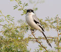 Southern Grey Shrike Lanius meridionalis Royalty Free Stock Images