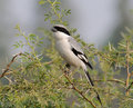 Southern Grey Shrike Lanius meridionalis Royalty Free Stock Photography