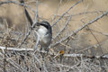 Southern grey shrike lanius meridionalis with prey Royalty Free Stock Photo