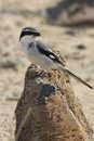Southern grey shrike lanius meridionalis standing on a rock Royalty Free Stock Photos