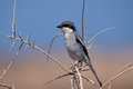 Southern grey shrike perched on a bush Royalty Free Stock Photos