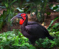 Southern ground hornbill bird Royalty Free Stock Photo