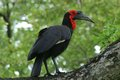 Southern ground hornbill bucorvus leadbeateri in kruger national park south africa Stock Photos