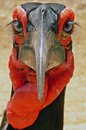 Southern ground hornbill bucorvus leadbeateri profile eyes frontview in kruger national park south africa Stock Photography