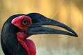 Southern ground hornbill bucorvus leadbeateri profile eyes frontview in kruger national park south africa Royalty Free Stock Photos