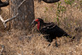 Southern ground hornbill Royalty Free Stock Photo