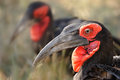 Southern ground hornbills bucorvus leadbeateri can be found angola northern namibia to northern south africa to kenya require Royalty Free Stock Image