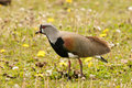 Southern lapwing adult foraging in grassy meadow Royalty Free Stock Image