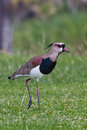 Southern lapwing searching for food early in the morning Stock Image