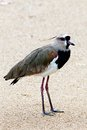 Southern lapwing vanellus chilensis at the beach near charloteville tobago Stock Photos