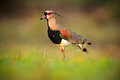 Southern Lapwing, Vanellus chilensis, water exotic bird during sunrise, in the nature habitat, Pantanal, Brazil