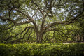 Southern live oak in the lsu quadrangle Royalty Free Stock Photo