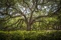 Southern live oak in the lsu quadrangle Royalty Free Stock Photo