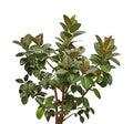 Southern Magnolia Tree Royalty Free Stock Photo