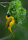 Southern masked weaver building nest ploceus velatus on pongola game reserve kwa zulu natal south africa Royalty Free Stock Images