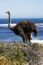 Southern ostrich struthio camelus Stock Images