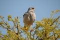 Southern Pale Chanting Goshawk, Melierax canorus Stock Photography
