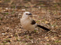 Southern pied babbler Royalty Free Stock Photo
