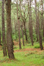 Southern pine tree wood Stock Photo