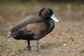 Southern pochard standing on the soil Royalty Free Stock Photo