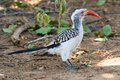 Southern Red-billed Hornbill on Ground Royalty Free Stock Photo