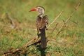 Southern Red-Billed Hornbill (Tockus rufirostris) Royalty Free Stock Image