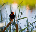 Southern Red Bishop at the Dam Royalty Free Stock Images